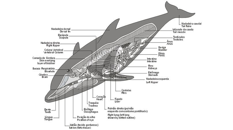 Gray Whale Anatomy Choice Image - human body anatomy